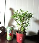 Serissa for blooming mame shohin bonsai tiny leaves exposed roots 2