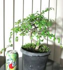 Weeping Chinese Elm for mame shohin bonsai tree thick curving trunk