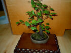 14 YEAR OLD FLOWERING WASHINGTON HAWTHORNE FOREST GROUPING YIXING POT BONSAI