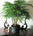 Big Norfolk Pine for mame shohin bonsai tree forest grove style 2