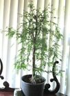 Established Bald Cypress for bonsai tree thick trunks