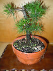 6 YEAR OLD FIELD GROWN SHOHIN 3 4 INCH TRUNK JAPANESE BLACK PINE BONSAI
