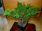 9 YEAR OLD SHOHIN SHIMPAKU ITOIGAWA JUNIPER 3 4 INCH TRUNK STYLED BY BOON BONSAI