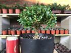 Large Boxwood Bonsai Tree Green Velvet