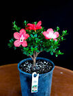 Japanese Satsuki Azalea Kinpai 6 Pre Bonsai Coral Red + White Center Flower