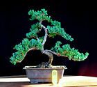 Japanese procumbens na na Juniper bonsai tree  75