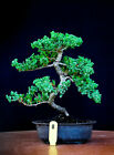 Japanese procumbens na na Juniper bonsai tree  8