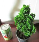 Fat Dwarf green hinoki cypress for mame shohin bonsai tree 4 multiple listing