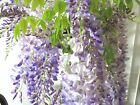 Japanese purple Wisteria for unique blooming shohin mame bonsai multiple listing