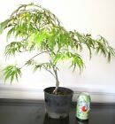 Japanese red Lace leaf Maple for mame shohin bonsai tree
