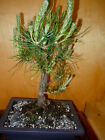 11 YEAR OLD FORMAL UPRIGHT JAPANESE BLACK PINE ONE INCH TRUNK BONSAI