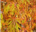 Japanese Maple Weeping Viridis Green Tree 3 Gal Live Tree 42+ Tall