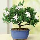 Gardenia Outdoor Small Bonsai Tree Plant
