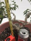 bonsai tree Ficus With Curves And Movement And Nice Trunk